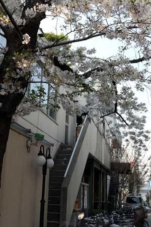 路地側の桜